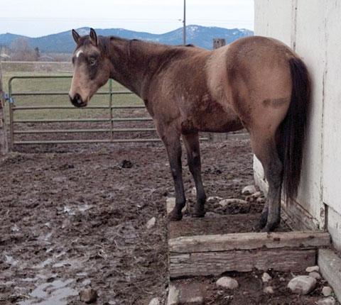 horse hoof abscess